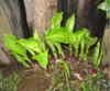 Gibousi