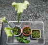 Insectivorous_plant